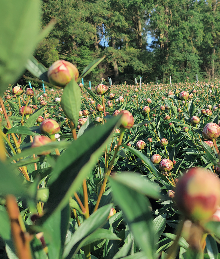 Peonies as far as the eye can see glimpses - Peonies as far as the eye can see - glimpses from the field